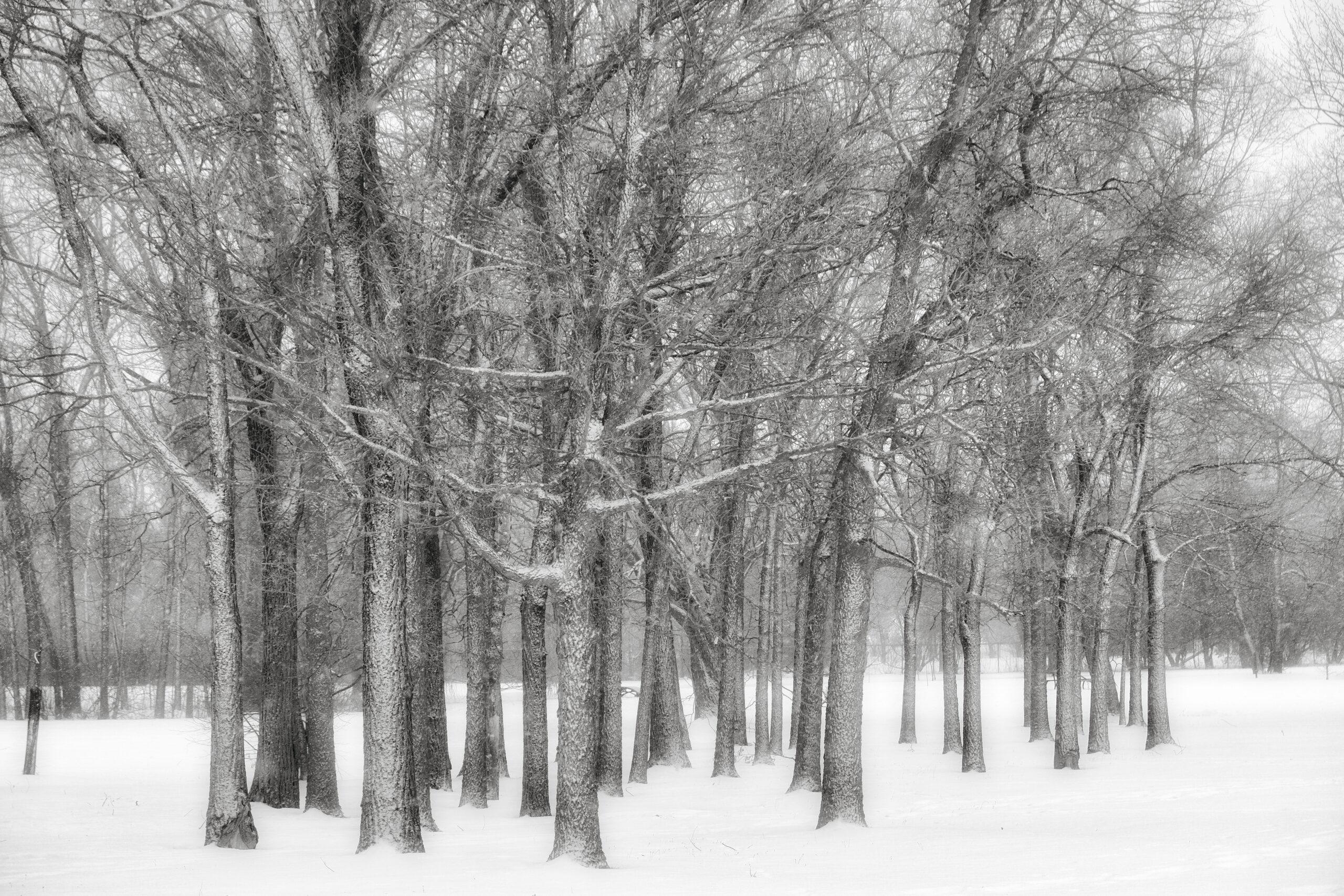 Hiver Montréal, Parc Maisonneuve, rangée arbres